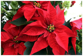 poinsettiaflower