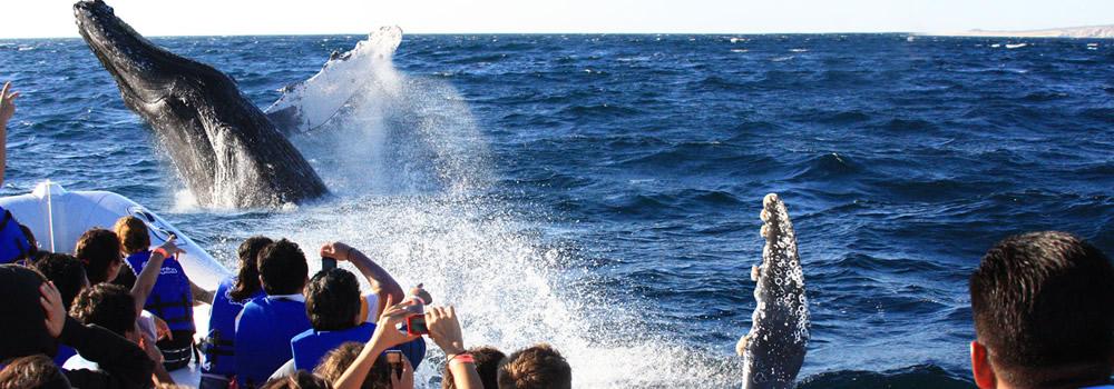 Starts in Mazatlan The Whale Watching Season