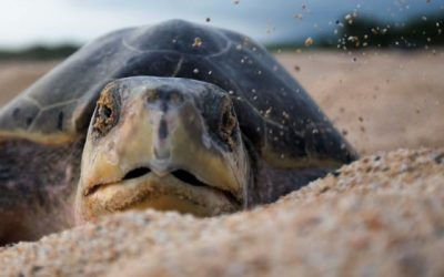 Conservation and Release of Sea Turtles in Mazatlan