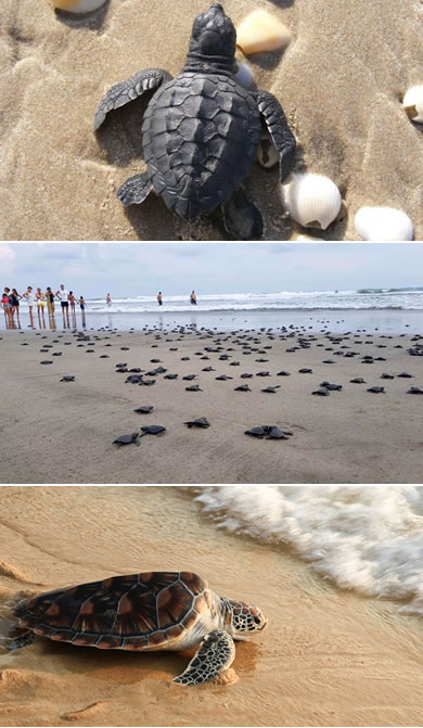 Liberación de Tortuga Golfina en Mazatlán